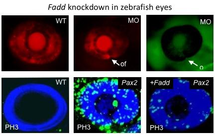 In wildtype (WT) zebrafish eyes the optic fissure is closed at 48 hpf, but when Fadd is knocked down using morpholinos (MO) the optic fissure is still open at 48 hpf. In WT eyes there is little PH3 labelling (a proliferation marker) but in the Pax2 mutant zebrafish, there is an open fissure and excessive proliferation. When Fadd mRNA is injected into Pax2 -deficient embryos the optic fissure closes and the proliferation is markedly reduced, demonstrating that Fadd is a direct downstream target of Pax2 (Viringipurampeer IA et al, 2012. Hum Mol Genet . 21:2357-2369).