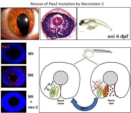 Mutation of PAX2 in humans and zebrafish eye cause ocular coloboma due to failure of optic fissure closure. Expression of Rip1 demonstrates activation of the necroptosis cell death pathway in the mutant zebrafish eye which is inhibited by a small drug molecule Necrostatin-1 (nec-1). Nec-1 inhibits necroptosis and allows closure of the optic fissure ( Viringipurampeer IA et al, 2012. Hum Mol Genet . 21:2357-2369 ).